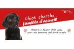 """""""Les Amis des Aveugles et Malvoyants"""" recherche des familles d'accueil pour leurs chiots futurs chiens guides d'aveugles"""
